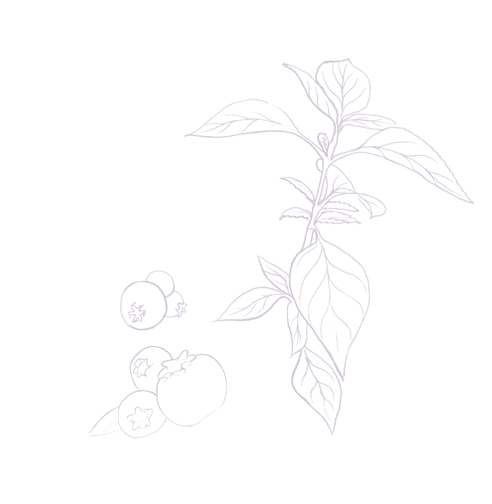 Kombucha myrtille/basilic